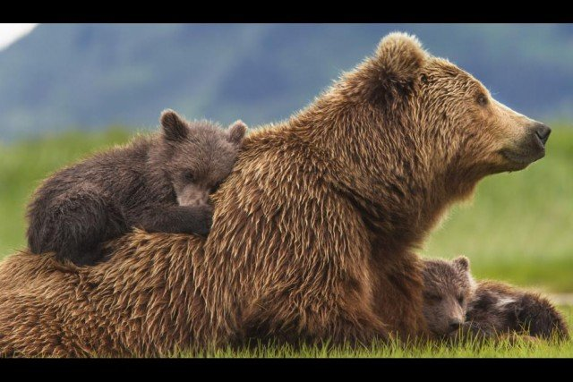 Disneynature movie Bears cubs hanging with Mom Sky